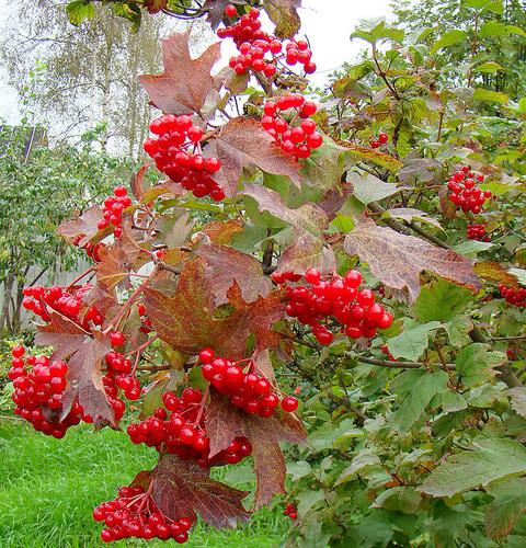 Многие из нас уже оценили полезные свойства ягоды калины. ?з калины готовят соки, настойки...